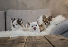 5 cani da salotto che adorano il divano